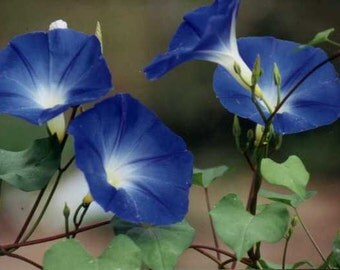 Heavenly Blue Morning Glory (Ipomoea)