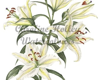 Limited Edition Giclee Print from original watercolour - Lily botanical