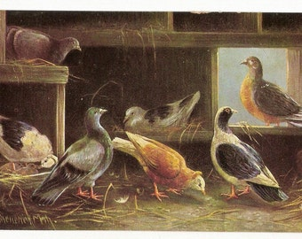 Pigeons in a dovecote. 1907 Postcard