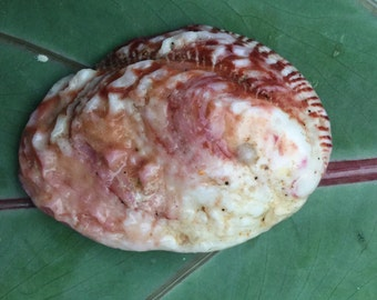 Hawaiian Seashell- sea shell collection jewelry making supply