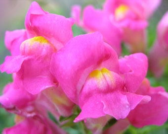 Beautiful Pink Snapdragons #160