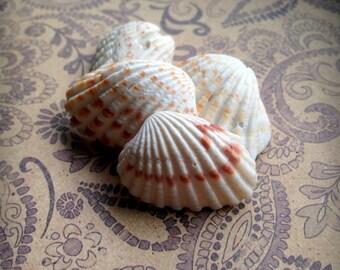 Seashells for Sale, Small Sea Shells, Broad-Ribbed Carditid, Seashell Crafts, Shell Art,Shell Jewelry,Seashell Art, Buy Shells,Buy Seashells
