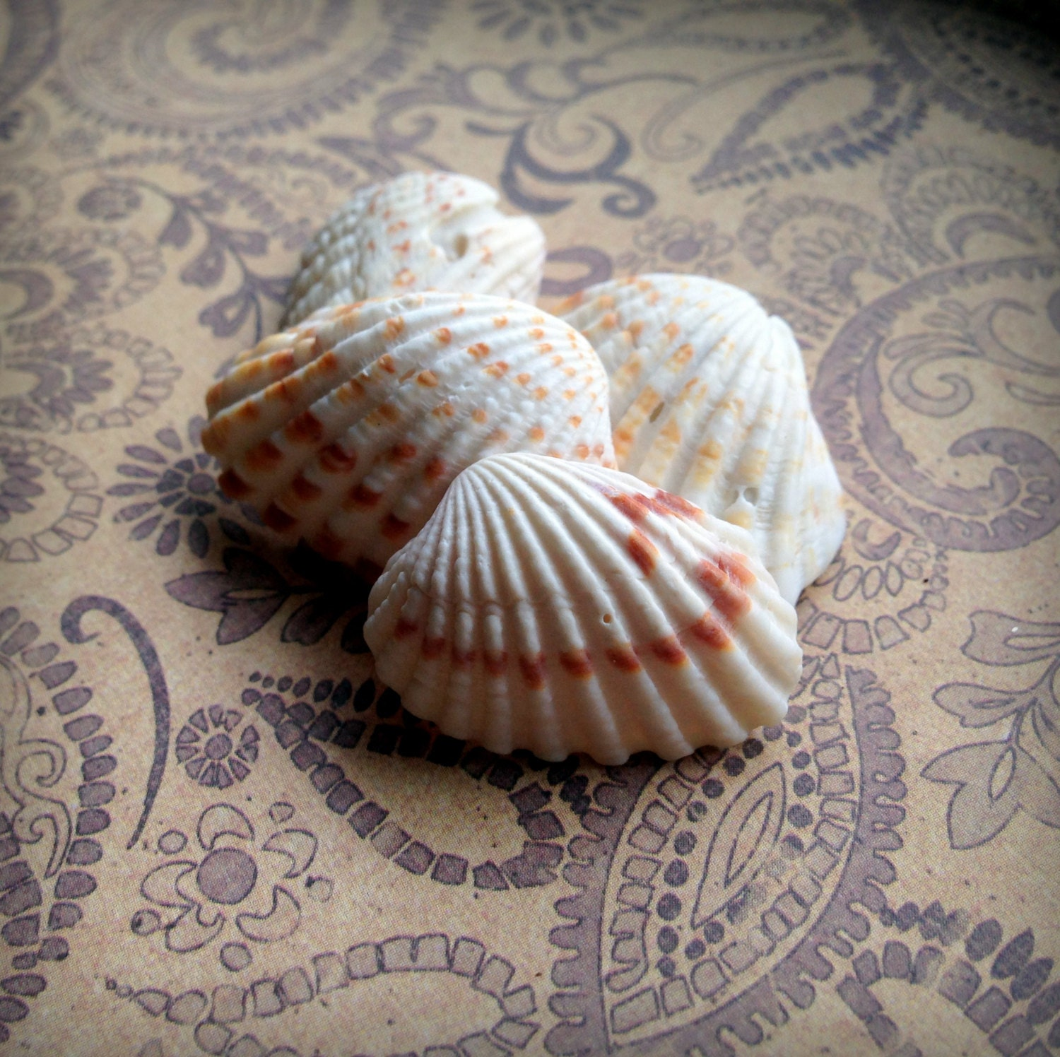 Seashells for sale small sea shells broad ribbed for Tiny shells for crafts