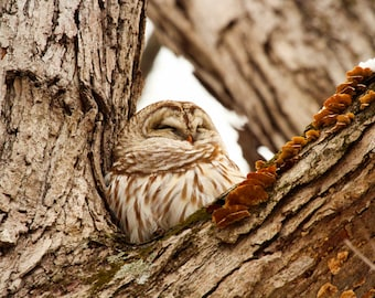 Barred Owl in the Winter Woods