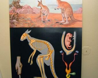 Kangaroo Anatomy Banner