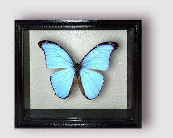 Morpho didius in frame made of expensive wood