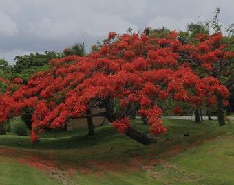 Flamboyant Delonix Regia Royal Ponciana 20 Seeds