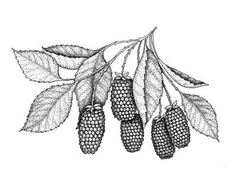 Marionberry Orignal Drawing