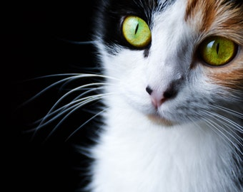 Photo portrait of tricolor cat