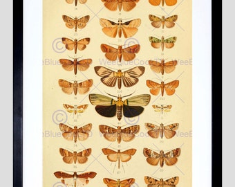 Animal Scientific Illustration Insects Moths Fine Art Print Poster FECC1852