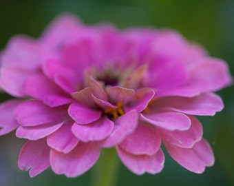 Zinnias Flower Photography Art