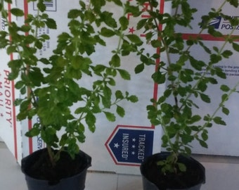 Spanish Thyme Origanum 2 Live Plants