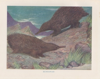 Antique Echidnas Lithograph - Antique Echidnas Print from 1950