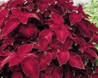 Coleus Solenostemon 'Wizard Velvet Red' Fresh 40 Seeds