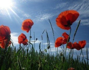 Design for Peace: Field of Poppies canvas