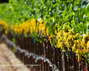 Large Wine Country Photo, Wall Art, Vineyard Row Print, Grapes Picture, Sonoma County Scene, Wine Country Decor, Green, Brown, Yellow