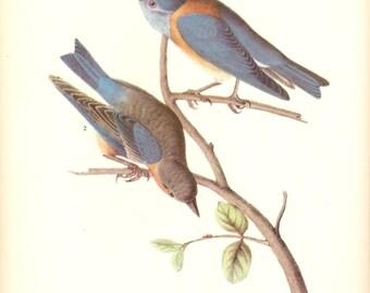 Old 1937 JOHN JAMES AUDUBON The Birds Of America Book Plate Western Bluebird (466)