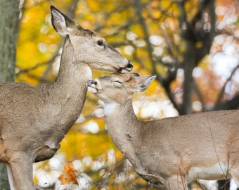 Tender Moment - Deer Photo -  Fine Art Photography - Animal - Love - Mom and Baby