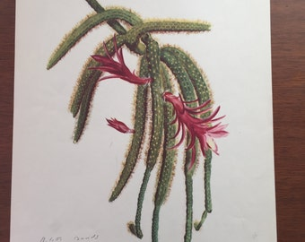 Vintage Botanical Print Cactus Arlette Davids Cereus Flagelliformis Home Decor Wall Art