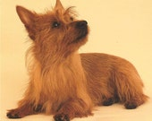 "AUSTRALIAN TERRIER Dog on ONE 16 inch Square Fabric Panel for Sewing. Actual Picture is 8"" x 10"" on white background."