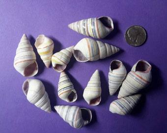 Hatian Tree Snail shells, 12 count
