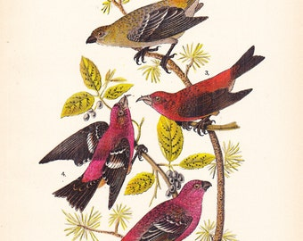 1890 Audubon Bird Print - Grosbeak Crossbill - Vintage Antique Book Plate Natural Science History Great for Framing 100 Years Old