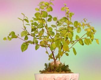 Indoor Flowering Sweet Plum Bonsai Tree