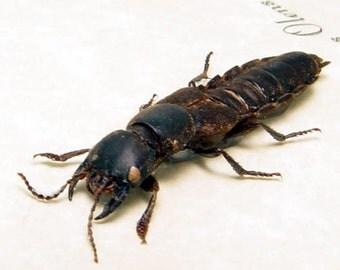 Real Staphylinus Olens Devil's Framed Coach Horse Beetle 7751