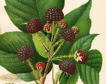1892 Antique Botanical Print - Hannibal Raspberry - Vintage Chromolithograph - Dated