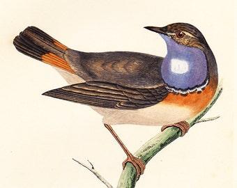 Original Bluebreast Print . antique bird plate woodblock . Vol III . dated 1853
