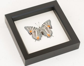Narrow Lined Beauty Framed Butterfly Display