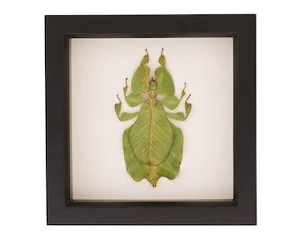 Wood Frame Insect Display Walking Leaf