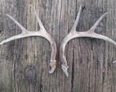 Vintage Natural  Deer Antler Rack...Masculine Man Cave...Hunting Trophy Decor...Outdoor...Taxidermy...Rustic..Primitive...Altered Art