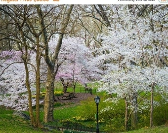 SALE - Ships Aug 27 - Central Park Art, New York Photograph Spring Photography Springtime Spring Flowers Photo nyc Cherry Trees nyc62