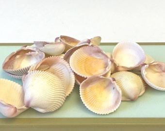 "Seashells - 1 cup Cockle Shells - 1"" - 1.5"" in Shades of Ivory, Tan, Pink and Purple - craft shells/wedding shells/bulk shells"