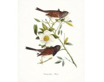 Audubon Vintage Bird Print,  Giclee Print, Dark-eyed Junco