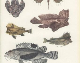 Redskinfish, Ocellated Waspfish, Reef Stonefish, Spinenose Horsefish, Vintage Fish Print 84, 1951, M Smith, Ichthyology, Natural History