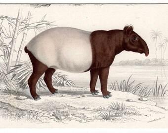 1849 ASIAN TAPIR print original antique endangered animal engraving - Tapirus indicus - Malayan tapir