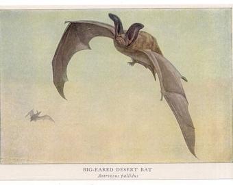 1918 DESERT BAT print original vintage chiroptera bats lithograph by Louis Agassiz Fuertes - big eared bat