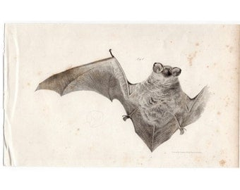 1842 ANTIQUE BAT PRINT original antique chiroptera bat lithograph no. 3- hoary bat