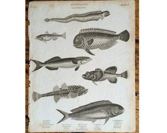 1809 ANTIQUE FISH ENGRAVING  sea life original antique ocean animal engraving print