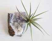 Air Plant on Amethyst Crystal Geode Chunk, Crystal Garden, February Birthstone, Gift For Gardener, Naturalist, Ready To Ship