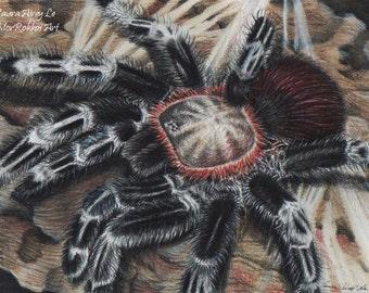 Nhandu chromatus - 5 x 7 Fine Art Print - By Laura Airey Le - Beautiful Tarantula