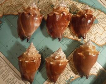 Sea Shells// Set of Six Conch shells//S6
