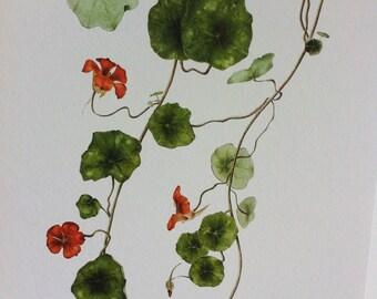 Botanical print of Nasturtiums from original watercolour painting.