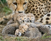 Baby Cheetah Cubs Photo, ...