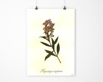 Obedient Plant Real Pressed Botanical Art - Herbarium Specimen