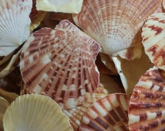 OVERSTOCK SALE Pecten Scallop Shells/ Lentigious Pecten for Coastal Decorating/ Arts/ Crafts Loose Seashell Supplies yellow pink peach coral