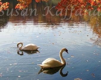 Autumn On The Pond  8 x 10..Original Fne Art... Landscape Photography ... Swans..Waterfowl.. Bird Photography
