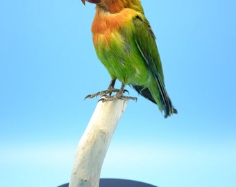 real birds taxidermy of love birds,green parrot,cool gift,free shipping